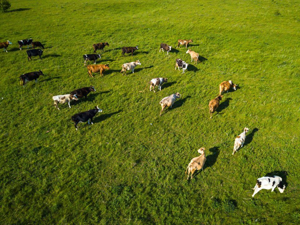 Un drone survolant un troupeau de vaches