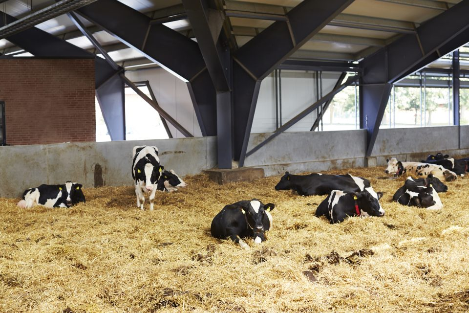 Vaches allongées sur la paille